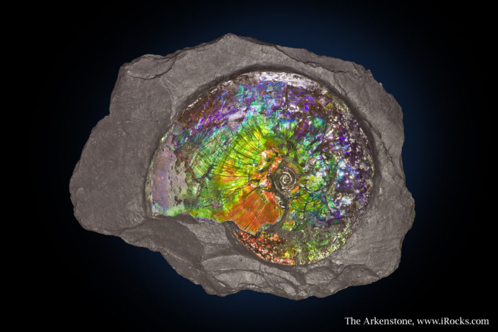 Natural Ammonite From Calgary Canada With Rainbow Coloring