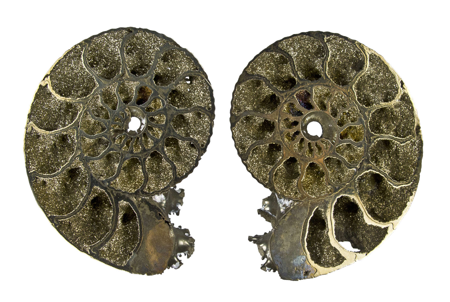 This famous fossil deposit 300 million year old Ammonites Volga River